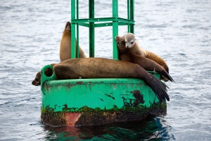 Sea Lions on Dana Point Marina Buoy