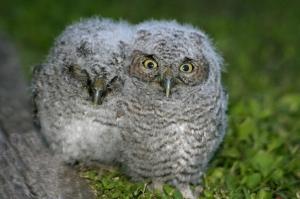 Fluffy Owlets in Yard