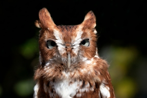 Gonzo the Screech Owl