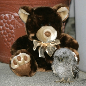 Baby Screech Owl Snuggled Next to Teddy Bear