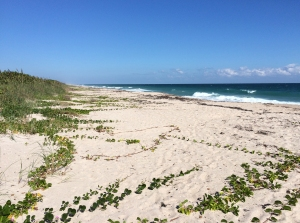 Beach Morning Glory Vines Covering Sand