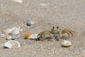 Ghost Crab and Shells