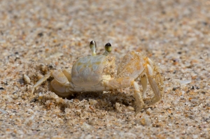 Juvenille Ghost Crab