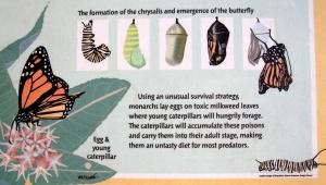 Monarch Metamorphosis Sign