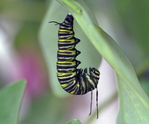 Monarch Caterpillar About to Pupate