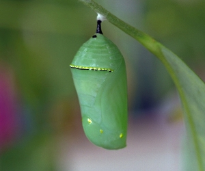 Stunning Monarch Chrysalis (jade with gold-like line and dots)