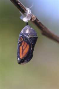 Chrysalis Clears Before Emergence