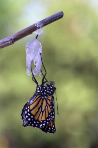 Monarch Pumps Fluid into Wings after Emergence