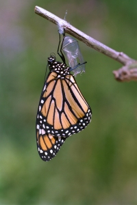 Beautiful Monarch Butterfly Ready for First Flight