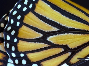 Close-up of Monarch Wing
