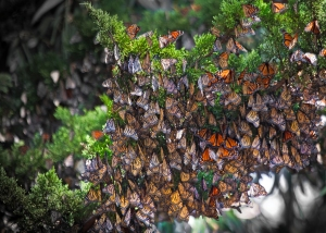 Monarchs Clustered on Branch in Winter in California