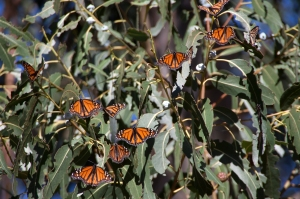 Wintering Monarchs on Eucalyptus Tree