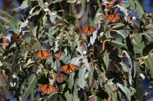 Wintering Monarchs on Eucalyptus Tree