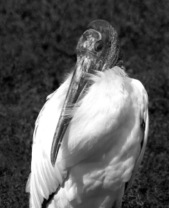 Wood Stork Portrait in Black and White