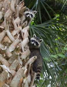 Baby Raccoons in Sabal Palm