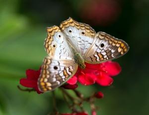 Peacock Butterfly on Jatropha Flower