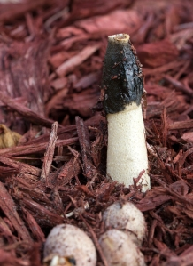 Stinkhorn Mushrooms Emerge from Egg-Like Bulbs