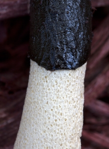Close-up of Stinkhorn Stalk
