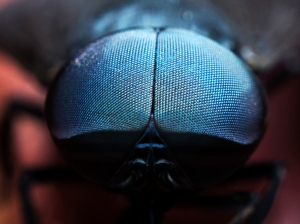 Close-up of Fly's Compound Eyes