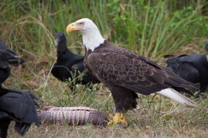Bald Eagle and Black Vultures Near Home