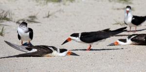 Black Skimmers Sunbathe Flat on Sand