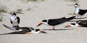 Black Skimmers Sunbathe Flat on Sand