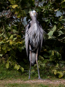 Great Blue Heron with Windblown Feathers