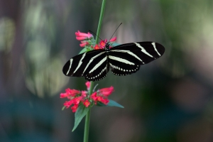 Zebra Longwing Butterfly on Red Salvia