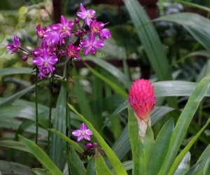 Purple Orchid and Pink Ginger