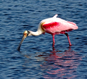 Pink Spoonbill and Blue Water