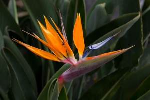 Colorful Bird-of-Paradise Flower in Garden