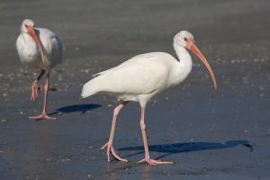 White Ibis at Lagoon