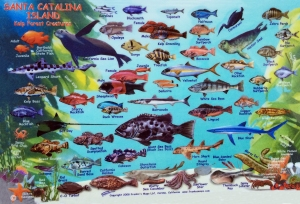 Santa Catalina Island Kelp Forest Creatures Identification Guide