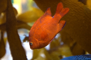 Bright Orange Garibaldi