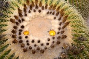 """Barrel Cactus """"Face"""""""