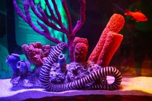 Zebra Moray Eel at SEA LIFE Aquarium