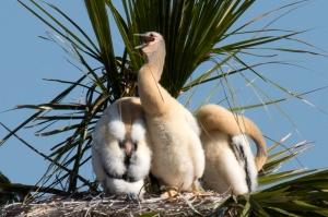 Three Fuzzy Anhinga Babies