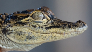 Young Alligator Face