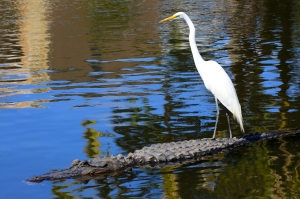 Egret Riding an Alligator