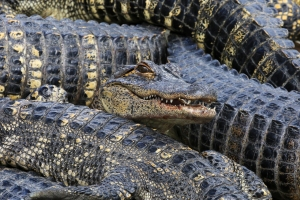 Toothly Face in Pile of Alligators