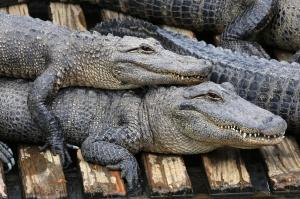 Alligator Hug