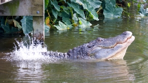 Gator Torso Vibration During Mating Display