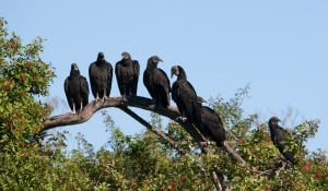 """A """"Committee"""" of Black Vultures on Tree Limb"""
