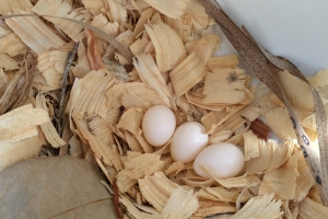Cedar Chip Nest Containing 3 Eggs (probably a first-time nester)