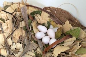 Leaf and Cedar Chip Nest Containing 5 Eggs