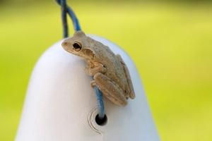 Frog on Nesting Gourd