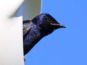 Adult Male Purple Martin Looking Out Nesting Gourd Entrance Hole (note iridescent purple feathers)