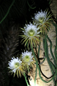 Four Cactus Flowers