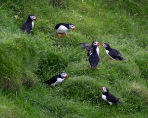 Puffins by Nesting Burrows