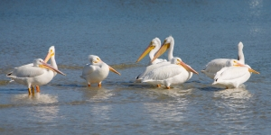 White Pelicans in Shallow Water